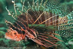 BD-130401-Tulamben-8984-Pterois-antennata-(Bloch.-1787)-[Broadbarred-firefish].jpg